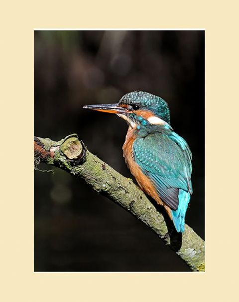 Riverbank Kingfisher Print